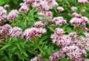Valeriana dispert in compresse